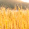 食パンから除草剤「グリホーサート」(発がん性物質)が検出される